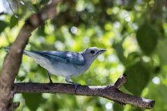 Tanage bleu grisâtre de birdie photographie stock