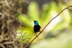 Tanager étranglé bleu scientifiquement connu sous le nom de cyanicoilis de Tangara Photos stock