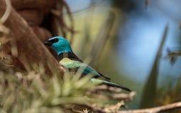 Tanager étranglé bleu scientifiquement connu sous le nom de cyanicoilis de Tangara Photos libres de droits