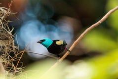 Tanager étranglé bleu scientifiquement connu sous le nom de cyanicoilis de Tangara Photo stock