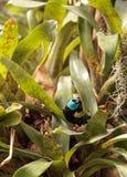 Tanager étranglé bleu scientifiquement connu sous le nom de cyanicoilis de Tangara Photographie stock