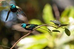Tanager étranglé bleu scientifiquement connu sous le nom de cyanicoilis de Tangara Images stock