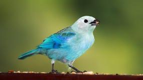 tanager голубого серого цвета 01 Стоковые Фотографии RF