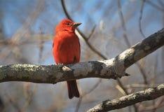 Πορτοκαλί δέντρο θερινών κλάδων tanager στοκ φωτογραφίες με δικαίωμα ελεύθερης χρήσης