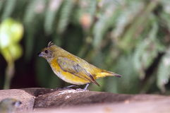 Tanager Immagine Stock