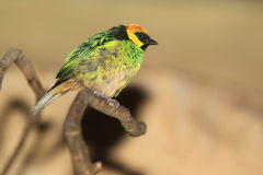 Tanager Açafrão-coroado Fotografia de Stock
