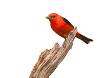 Tanager Attitude Royalty Free Stock Photo