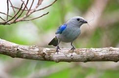 Tanager Azul-cinzento foto de stock