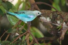 Tanager azul claro en selva tropical venezolana Foto de archivo libre de regalías