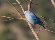 Tanager Azul-gris Imagen de archivo