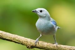 Tanager Azul-gris foto de archivo libre de regalías