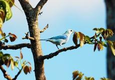 Tanager azul-gris asombroso, pájaro azul hermoso de Costa Rica Fotografía de archivo libre de regalías