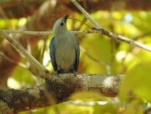 Tanager Azul-gris, recolectando para una jerarquía, Costa Rica Fotos de archivo