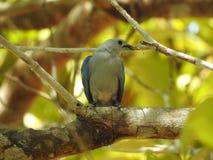 Tanager Azul-gris, recolectando para una jerarquía, Costa Rica Imagenes de archivo
