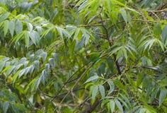 Tanager Baía-dirigido camuflado na chuva imagens de stock