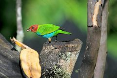 Tanager Baía-dirigido, Tangara Gyrola Toddi, aves canoras verdes e azuis vermelhas bonitas, EL Jardin, Colômbia foto de stock royalty free
