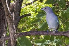 Tanager bleu grisâtre de birdie sur le jardin de Brésilien de branche images libres de droits