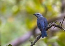 Tanager Blu-grigio Fotografia Stock