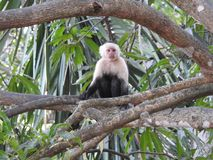 Capuchin Monkey in costa Rica. This is a capuchin monkey waiting for breakfast in Costa Rica, here you can feed them by hand Stock Photo