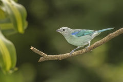 Tanager Blue-gray Royalty Free Stock Photos
