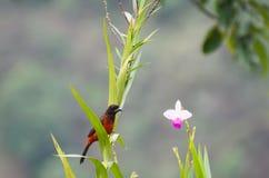 Tanager Carmesí-apoyado que se sienta en una flor de la huerta Imagen de archivo