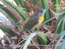 Tanager in Costa Rican Palm tree Royalty Free Stock Images