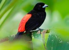 Tanager d'écarlate-rumped - oiseau passerine moyen de passerinii de Ramphocelus Ce tanager est un éleveur résident dans les Caraï photos stock