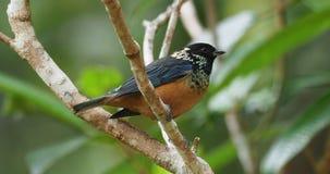 Tanager de la lentejuela-cheeked - pájaro passerine del dowii de Tangara, criador residente endémico en las montañas de Costa Ric almacen de metraje de vídeo