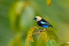 Tanager De oro-encapuchado, larvata de Tangara, pájaro azul tropical exótico con la cabeza del oro de Costa Rica Palillo verde de Foto de archivo libre de regalías