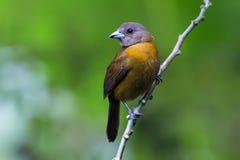 Tanager de Passerinis en Costa Rica Fotografía de archivo libre de regalías