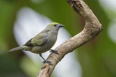 Tanager de paume - palmarum de Thraupis photo stock