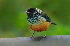 Tanager de Spagled-cheeked, dowii de Tangara, pájaro en el hábitat verde del bosque, Costa Rica Tanager que se sienta en brach he imagen de archivo libre de regalías
