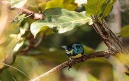 Tanager de turquoise connu sous le nom de mexicana de Tangara photographie stock libre de droits