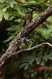 Tanager de turquoise connu sous le nom de mexicana de Tangara Photo libre de droits