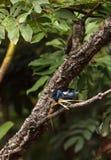Tanager de turquoise connu sous le nom de mexicana de Tangara Photographie stock