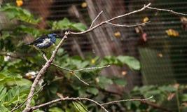 Tanager de turquoise connu sous le nom de mexicana de Tangara Photos libres de droits