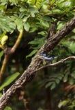 Tanager de turquoise connu sous le nom de mexicana de Tangara Images stock