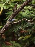 Tanager de turquoise connu sous le nom de mexicana de Tangara Image libre de droits