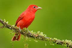 Tanager de verão, rubra do Piranga, pássaro vermelho no habitat da natureza Tanager que senta-se na árvore verde Birdwatching em  fotos de stock