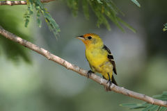 Tanager de Wester images stock