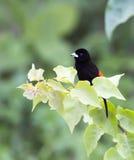 Tanager del ` s de Passerini, passerinii masculino de Ramphocelus Imágenes de archivo libres de regalías