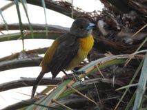 Tanager en el árbol de Costa Rican Palm Imagen de archivo libre de regalías