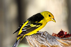 Tanager occidental Photo stock