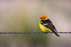 Tanager occidental, Montana Image stock
