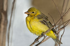 Tanager occidentale Fotografie Stock
