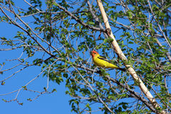 Tanager occidentale in albero Immagini Stock