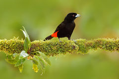 Tanager od zwrotnika Czarnego i czerwonego lasowego pieśniowego ptaka Szkarłat Tanager, Ramphocelus passerinii, egzotyczna zwrotn Zdjęcia Stock