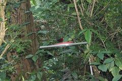 Tanager Plata-beaked coloreado rojizo, carbón de Ramphocelus, pájaro cantante suramericano, encaramado en la ramita en lluvia, wa Imagenes de archivo