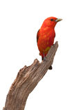 Tanager Pose Stock Photography