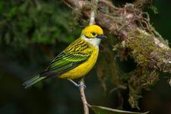Tanager Prata-throated em Costa Rica Foto de Stock